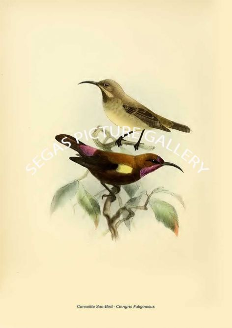 Fine art print of the Carmelite Sun-Bird - Cinnyris Fuliginosus by the artist Johannes Gerardus Keulemans (1876-1880)